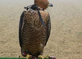 Risultati immagini per falconeria maltrattamento