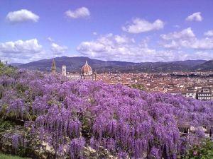 Glicine_Villa_Bardini_fioritura